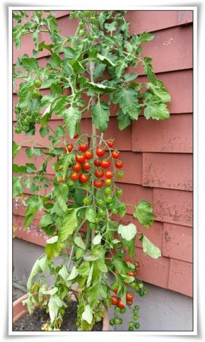 Tomateli.jpg