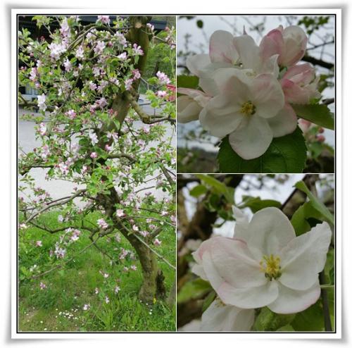 Apfelbluete.jpg