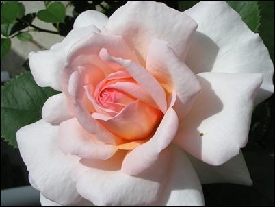 rose belle.jpg